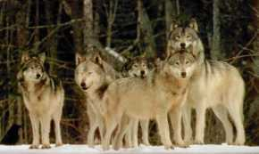 Hunting as a Pack